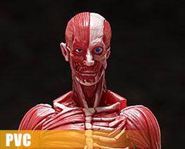 PV12760  Figma Human Anatomical Model (PVC)