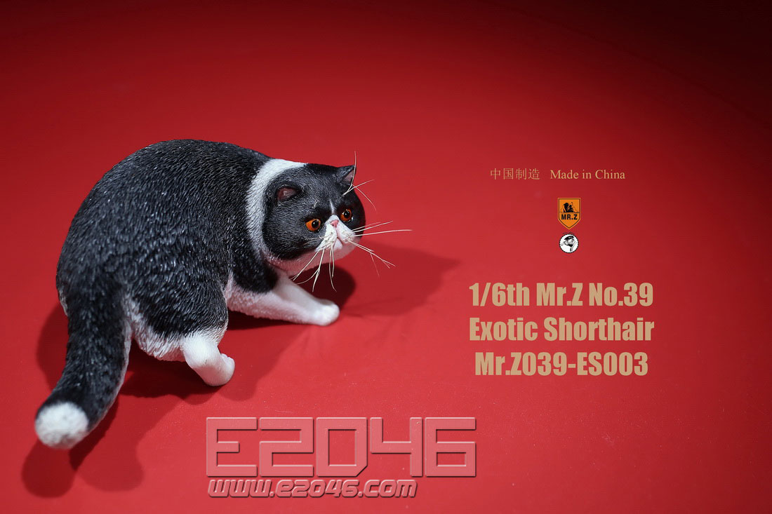 Exotic Shorthair C (DOLL)