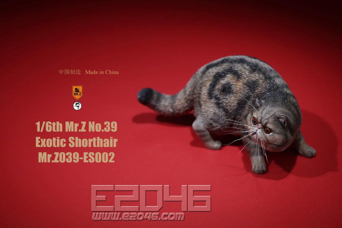 Exotic Shorthair B (DOLL)