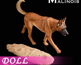 DL2244 1/6 Malinois B (DOLL)