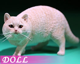 DL2417 1/6 British Shorthair D (DOLL)